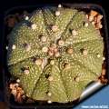 Astrophytum asterias (Typical form) L1016 Gonzales, Tamaulipas, Mexico.