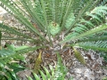 Female cones in Joe's Cycad Gardens.