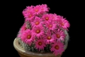 If grown correctly, it will recompense the grower with generous displays of  amazing flowers.