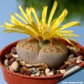 Early flowering, this form of Lithops pseudotruncatella may flower as early in the year as early summer in some temperate areas.