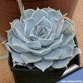 This plant is slower growing than many other Echeverias in cultivation and does not offset readily.
