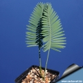 Dioon edule seedling from Santa Rita