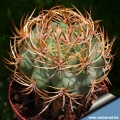 Grafted on trichocereus (this species is frequntly grafted to avoid root rot)