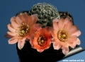 The salmon flowered form is also known as  Rebutia (Aylostera) haagei.
