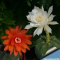 Standard orange-red flowered form and