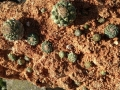 Grown on a slab of red tuff (a friable volcanic rock)