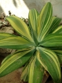 The wide pale green pliable leaves have yellow stripes that are different from leaf to leaf.