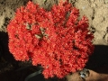It produces spectacular clusters of bright orange-red flowers arranged in dense cymes.