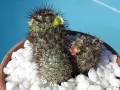 Mammillaria microhelia with lime flowers and Mammillaria microhelia v. microheliopsis with pink coloured flowers.