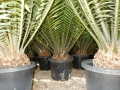 Mature and near mature plants at Cycad International.