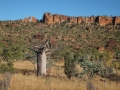 Boab/Baobab trees (Adansonia gregorii) in the Timber Creek Region of the North West of the Northern Territory of Australia.