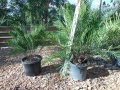 Zamia integrifolia (Sarasota) on the left and Z. integrifolia (Palatka Giant) on the right. Photo by Cycad International. https: