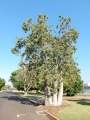 Re-located Baobab/Boab trees in landscapes. Wyndham and Kununurra in the East Kimberley Region of Western Australia