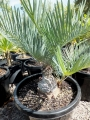 35 year old Cycas furfuracea. This is in a 30 cm pot. At Cycad International.