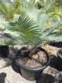 Very old specimen from seed grown. At Cycad International. Katherine (Australia)