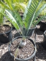 Old specimen grown from seed. At Cycad International. Katherine (Australia)