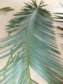 Cycas neocaledonica.