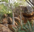 Pachypodium ambongense and Encephalartos cerinus at Jurassic Cycad Gardens in Katherine in the Northern Territory of Australia.