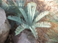 New leaves.  Ex-situ collection. Jurassic Cycad Gardens.
