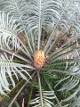 Cycas thouarsii, Receptive Female.