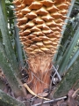 Base of male cone.