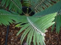 Encephalartos heenanii showing the characteristic twist to the leaf.
