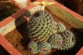 Mamillaria balsasoides. With developed buddings.
