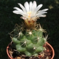Thelocactus tulensis, KKR85 Tepeyac, SLP, Mexico. tubercles. The first flower.