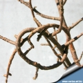 Twigs are very flexible, you can make a knot whit them!!!