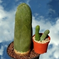 along with  Trichoceres bridgesii mostruosa (the
