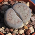Lithops schwantesii v. marthae H4886 (MG catalog 1725.51)
