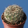 R207 (Collector: Walter Rausch) Locality: La Paz, Bolivia. Fuzzy white spines hide the stem.