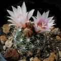 L1111 Buenavista Fine white spines, flower throat pink.