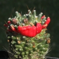 A crested fruit.