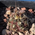 New spines at the end of winter-early spring.