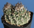 It exhibits some diversity  regarding the shape and size of the spines, sometimes quite long and curl over top of plant.