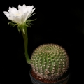 Echinopsis mamillosa (Easter Liily Cactus)
