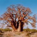 The Baobab is the largest succulent plant in the world.