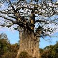 Baobab is leafless for nine months of the year.
