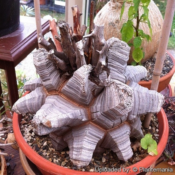 Dioscorea Elephantipes Is A Choice Caudiciform Succulent That Produces Seasonal Twining Vine From The Top Of Caudex