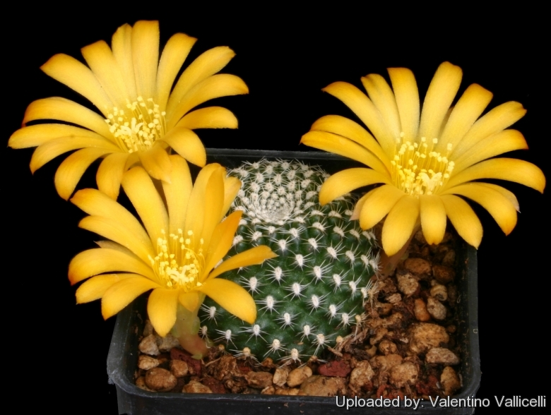 Semis de Rebutia (cactus) Rebutia_marsoneri_2851_l