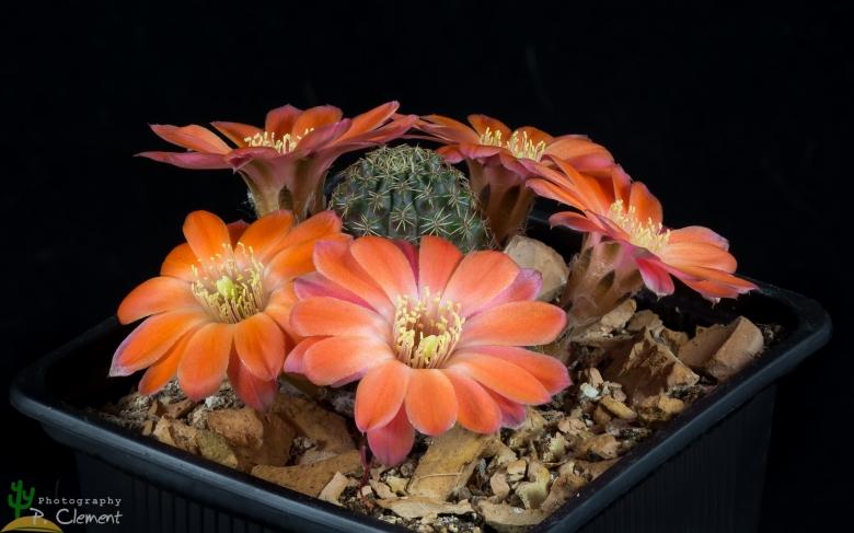 Semis de Rebutia (cactus) Rebutia_pygmaea_29308_l